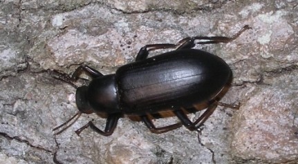 Image result for black beetle
