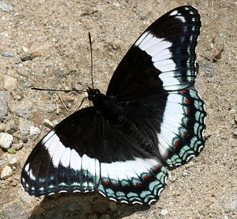 White Admiral Butterfly - Tom Murray