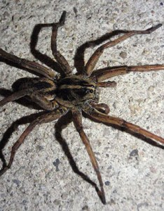 Img also brown recluse cyclonefanatic the internet   most popular site rh