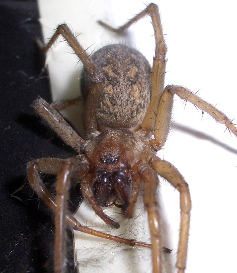 Is this a Hobo Spider Eratigena agrestis BugGuideNet