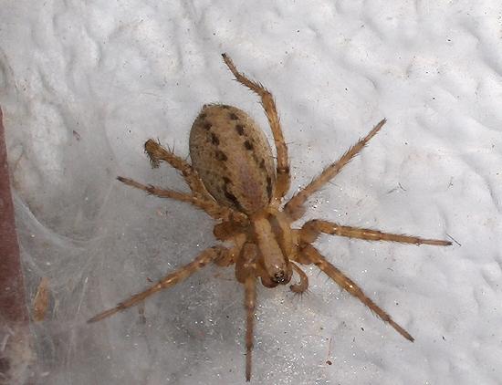 Funnel-web Spider - Agelenopsis - BugGuide.Net