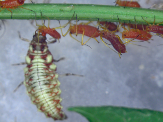 Green lacewing larva piercing aphid