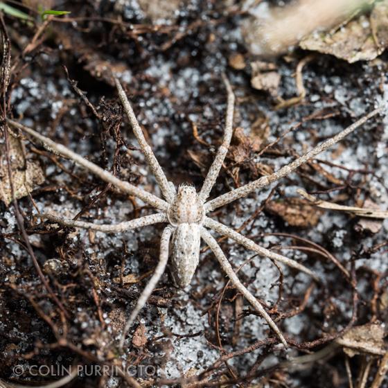 light tan gray spider