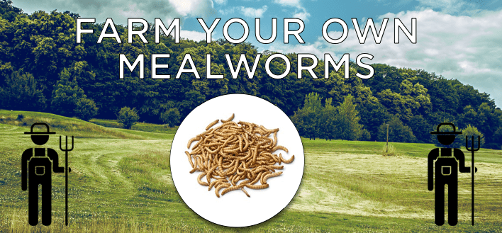 How to Farm Your Own Mealworms!
