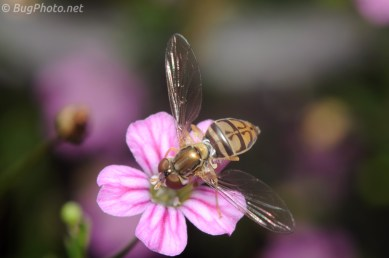 Hover Fly Dipping in Pink Flower