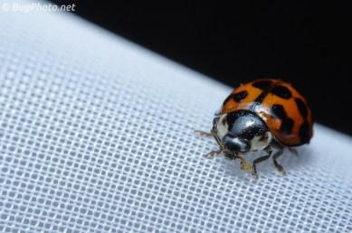 Ladybird Beetle on Sheer Curtain