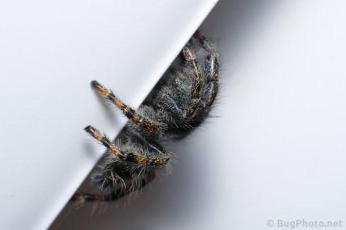 Legs of Phiddipus audax jumping spider