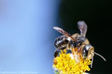 leafcutter_bee_signed_0766_FL1