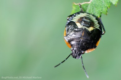 green stink bug nymph