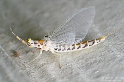 hexagenia mayfly