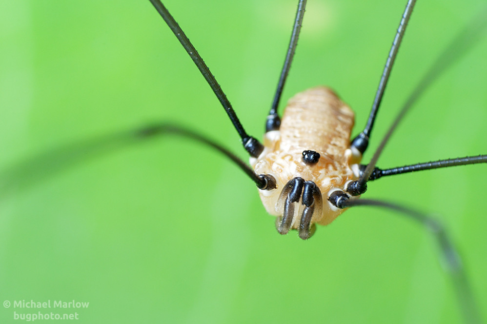 Nonplussed Like a Daddy LongLegs  BugPhotonet