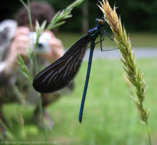 Ebony Jewelwing on grass stalk with photographer in background