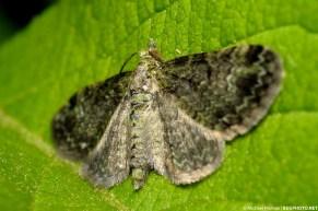 cryptic moth flat against a leaf possible geometrid