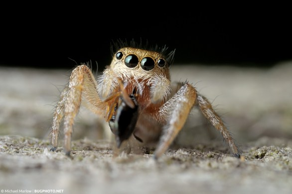 jumping spider with wasp prey