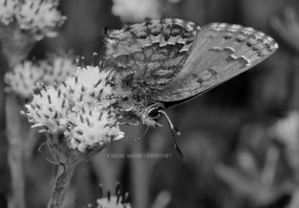 Eastern Pine Elfin (Callophyrs niphon, Lycaenidae) on a weed flower. (black and white version)