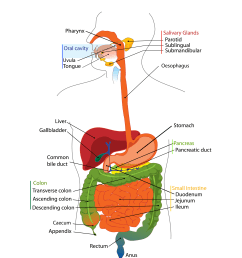 figure 1 the human digestive tract image from wikimedia commons and released into [ 3233 x 4041 Pixel ]