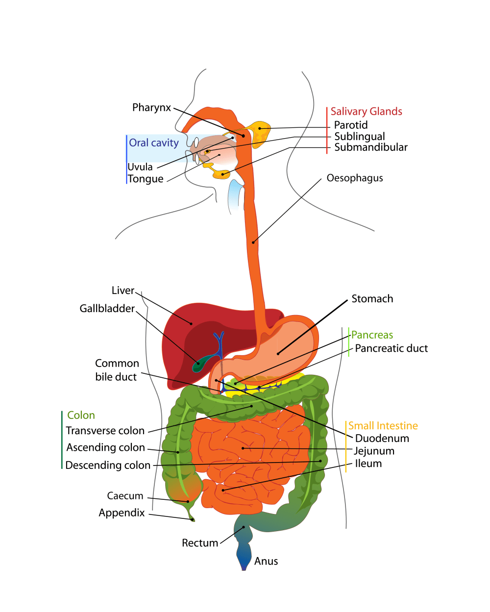 medium resolution of the human digestive tract image from wikimedia commons and released into