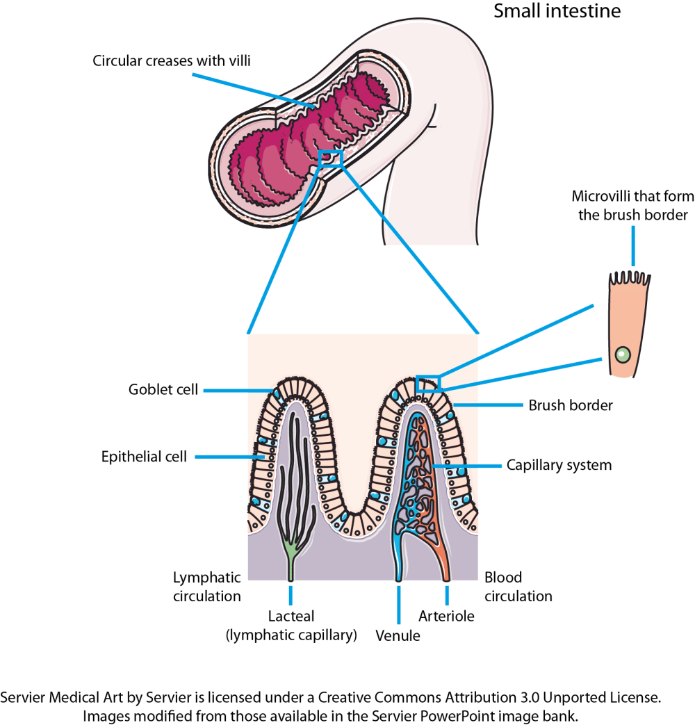 medium resolution of the small intestine is convoluted with the folds forming thousands of villi