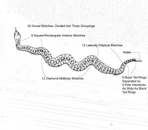 Line Drawing of Katie's Rattlesnake