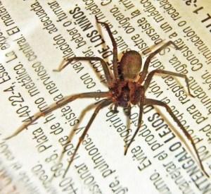 Sicariidae: Brown Recluse (Loxosceles reclusa); Kurt, Colin County, TX--01.18.2010