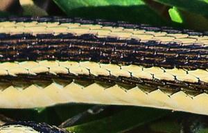Western Ribbon Snake (Thamnophis proximus proximus); Tammy D Santa Fe TX 122209--Midbody Scalation