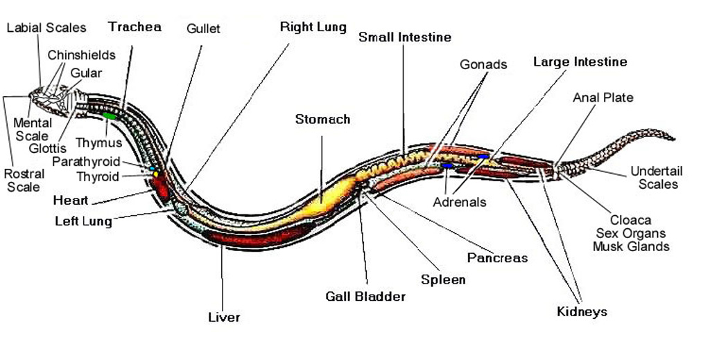 snake anatomy  u0026 physiology