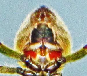 Southern Orbweaver (Eriophora ravilla), ventral abdomen 032710 Andrea G.