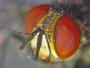 Tachinid Fly dorsofrontal head