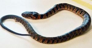 Blotched Water Snake (Nerodia erythrogaster transversa), 040410 Ramona R., Fulshear, Texas--dorsal body