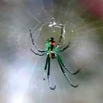 Orchard Orbweaver (Leucauge venusta), Christine, The Woodlands, TX; 08.11.07--Ventral Body, Center of Web