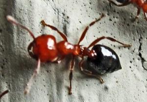 Acrobat Ant (Crematogaster spp); Temple, Texas, 04.19.10--dorsal view