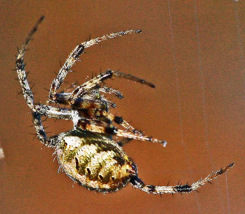 Arabesque Orbweaver (Neoscona arabesca); Julia E., Lufkin, Texas 1108 Dorsolateroposterior view