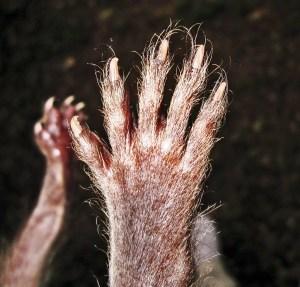 Juvenile Raccoon (Procyon lotor), Denton, Texas--back of front paw