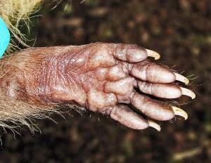 Juvenile Raccoon (Procyon lotor), Denton, Texas--front paw palm