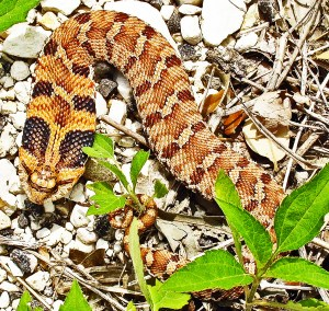 Eastern Hog-nosed Snake (Heterodon platirhinos), 040510, Shirley, Kempner, TX--dorsal body, stretched, flared 02
