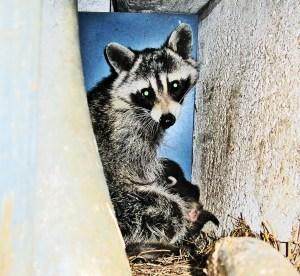 Mother Raccoon (Procyon lotor), Denton, Texas--suckling young
