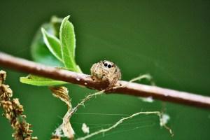 Salticidae, Male; Julia E., East Texas, In Context--04.05.10