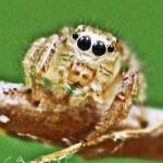 Salticidae, Male; Julia E., East Texas, Frontal head, chelicerae, & palps--04.05.10