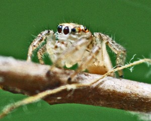 Jumping Spider (Salticidae family), Male; Julia E., Lufkin, Texas, Laterofrontal--04.05.10