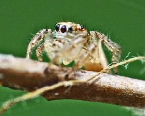 Jumping Spider (Salticidae family), Male; Julia E., Lufkin, Texas, Laterofrontal--04.05.10