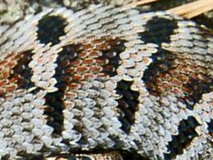 Eastern Hog nosed Snake (Heterodon platirhinos), midbody; Tom Sinclair, Sam Houston National Forest, Texas--061510