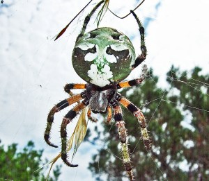 Giant Lichen Orbweaver (Araneus bicentenarius), Dorsal Body; Becky C., Burnet TX--060510
