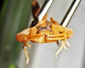 Striped Bark Scorpion (Centruroides vittatus), frontal; Cedar Creek, Texas--06.18.10