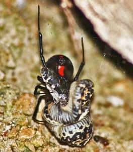 Western Black Widow Spider feeding on its prey, an Eastern Black-necked Garter Snake; Bridget W., on Lake Belton near Moffat, Texas