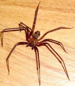 Sicariidae: Brown Recluse Spider (Loxosceles reclusa); Ralph E., Wichita Falls, TX--06.19-2007