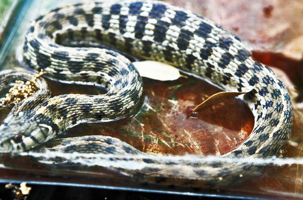Colubridae: checkered garter snake (Thamnophis marcianus marcianus; Baird & Girard, 1853); dorsal body; Steiner Ranch, Austin, TX--10 April 2010