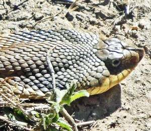 Colubridae: Xenodontinae: eastern hognosed snake (Heterodon platirhinos); lateral head and neck, Corinna R., Austin TX--25 Apr 2010