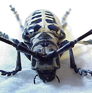 Cerambycidae: Cottonwood Borer (Plectrodera scalator), frontal view; Jean C., Round Rock, TX--June, 2001