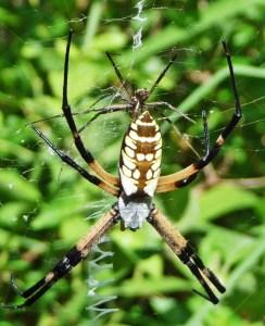 Araneidae: yellow garden spider (Argiope aurantia; Lucas, 1833); female dorsoposterior, male ventroposterior; Joy R., San Antonio, TX--29 Jul 2010