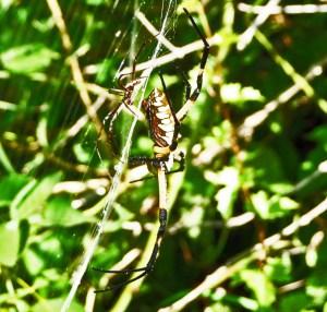 Araneidae: yellow garden spider (Argiope aurantia; Lucas, 1833); male and female, lateral view; Joy R., San Antonio, TX--29 Jul 2010